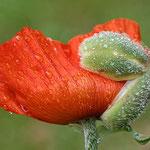 Mohnblüte - Foto: Walter Weigelt