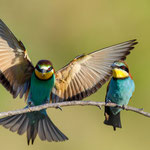 Bienenfresser (Merops apiaster) - Foto: Josef Fleige