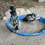 Paduaner Hennen silber-schwarzgesäumt (Rosi und Elvira) aus 2014 beim Sandbaden