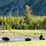 Bison Herde beim Überqueren des Madison River