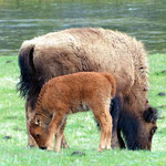 Bisons im Yellowstone National Park
