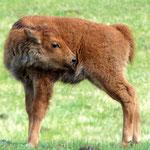Baby Bison im Yellowstone National Park