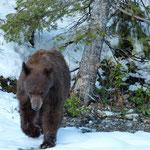 Bärenbegegnung im Waterton National Park