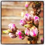 Zwergnektarinenblüte