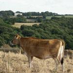 Eine Jersey Kuh