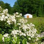 jardin à la ferme des ânes : rosier paysager