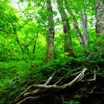 A vast beautiful  forest of beech trees,Where is Straddling the border between Aomori and Akita.