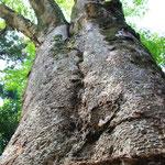 丹生川上神社のご神木 The sacred tree at Niu kawakami shrine