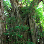 The biggest Ginkgo in Japan,This tree is over 1,000 years old. At Kitakanegasawa  Aomori.