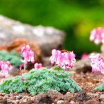 コマクサ Komakusa(scientific name Dicentra peregrina (Rudolph) Makino),The Queen of  alpine plants in Japan.