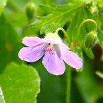 Hakusan-Furo (scientific name:Garanium yesoense var.Nipponicum)