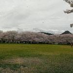隣に三本松公園。春には満開の桜がとても綺麗です。奥には石巻山がひょっこり!