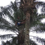 Man climbing a palm tree