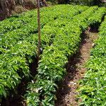 die Kaffeesetzlinge sind fast fertig für die Einpflanzung im Berg