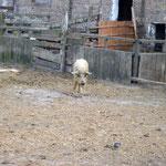 ein Wollschwein
