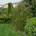 Jasminum nudiflorum è tra i primi arbusti a fiorire in primavera