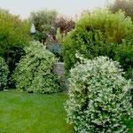 Trachelospermum jasminoides in fiore