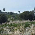 Splendida fioritura di Asphodelus ramosus sul Gargano