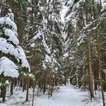 Fichtenwald im Schnee