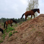 Die Pferde lieben die Hügel (Foto: Harald Kloth)