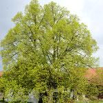 Unverwechselbares Wahrzeichen des Reiterhofes: Die alte Linde als Hofbaum