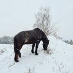Islandpferd auf schneebedecktem Hügel