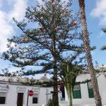 Weihnachtsbaum in Haria neben dem Marktgelände