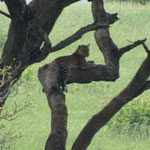 Leopard im Baum. Sieht man sehr selten!