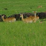 Antilopen mit Wasserbüffeln