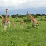 andere Giraffen