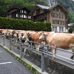 Die Kühe sind bereit für den langen Fussmarsch auf die Wengernalp