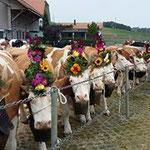 Die Kühe sind bereit für die Heimkehr