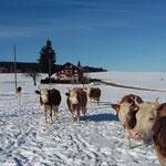 Unsere Kühe auf der Winterweide