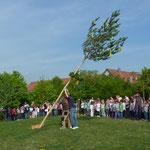Die Hausmeister der DKK-Schule stellen den Maibaum auf