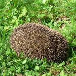 Ein Igel streifte durch den Garten und igelte sich ein ...