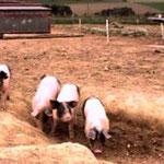 """""""glückliche"""" Schweine"""