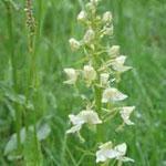 Orchideen waren viele zu sehen, hier eine Waldhyazinthe am Wegesrand.