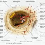 Orbita - arterie frontale
