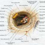 Orbita - nervi frontale