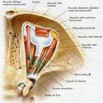 Orbita - muscoli sagittale