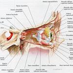 Orbita - arterie laterale