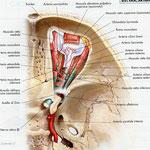 Orbita - arterie sagittale
