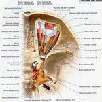 Orbita - nervi sagittale
