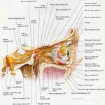 Orbita - nervi laterale