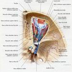 Orbita - vene sagittale