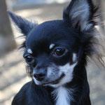 チワワ犬のはるちゃんの画像