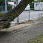 フクロモモンガ 画像