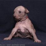Мальчик с гривой (фиолетовая ленточка) - 3 недели