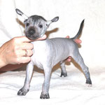 Kinich Ahau Mister Koks (mini – hairless)