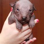 Мальчик с гривой (фиолетовая ленточка) - 2 недели